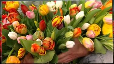 Het Klokhuis: Tulpen
