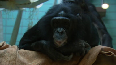 De bonobo