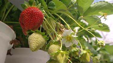 Hoe groeit een aardbei?