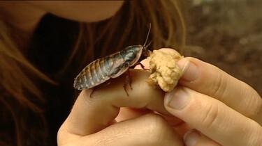 Wat is een kakkerlak?