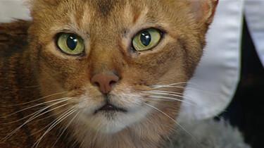 Waarom komen katten altijd op hun pootjes terecht?