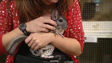 Wat is een chinchilla?