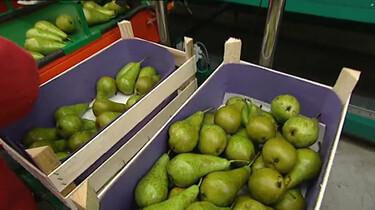 Hoe worden peren geoogst?