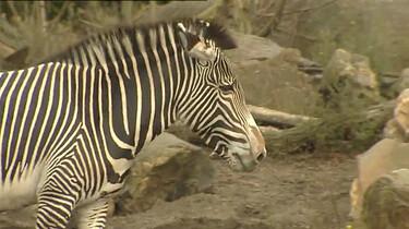 Waarom heeft een zebra strepen?: Een unieke streepjescode