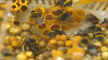 Waarom zoemen bijen?