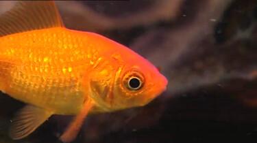 Hoe verzorg je een goudvis?