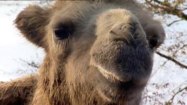 Waarom heeft een kameel bulten?