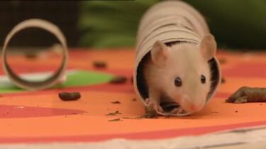Waardoor heeft een rat zo'n goed evenwichtsgevoel?