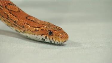 Waarom steekt een slang zijn tong uit?