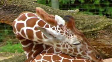 Hoe slaapt een giraf?