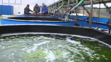 Zeewier als duurzame bron voor voedsel en energie