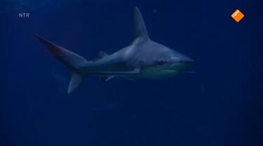 Het Klokhuis: Haaienonderzoeker
