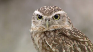Waarom kunnen uilen hun kop zover draaien?