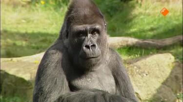 Het Klokhuis: Gorilla
