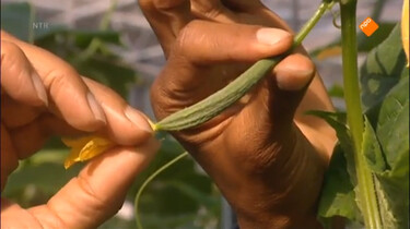 Het Klokhuis: Komkommer
