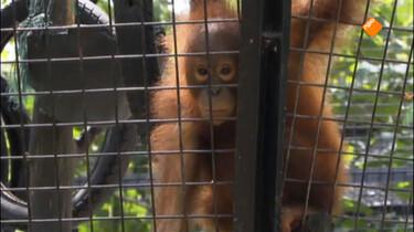 Het Klokhuis: Orang-Oetan: opvangcentrum