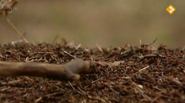 Huisje Boompje Beestje: Een hoop mieren