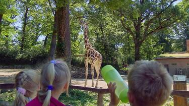 Hoe drinkt een giraf?