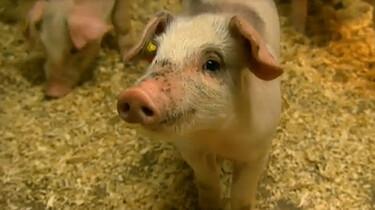 Het Klokhuis: Varkens
