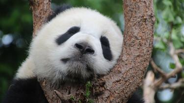 EenVandaag in de klas: Drollen tellen om panda's te inventariseren