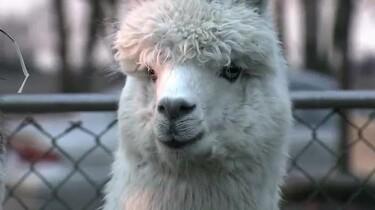 Hoe wordt alpacawol gemaakt?