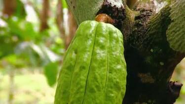 Hoe wordt cacao gemaakt?