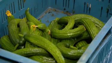 Wat gebeurt er met kromme komkommers?