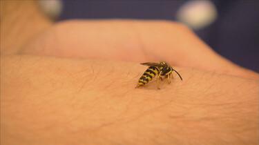 Proefkonijnen in de klas: Wat doet meer pijn: een bijen- of wespensteek?