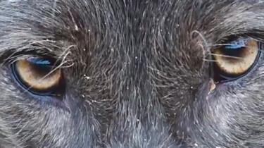 Waarom huilen wolven?