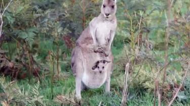 Hoe komt de kangoeroe aan zijn naam?