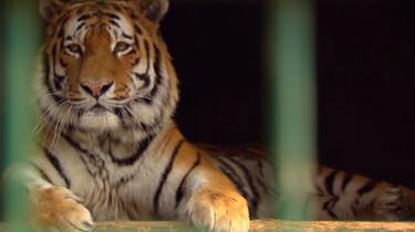 Hoe ruikt een tijger?
