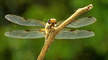 Hoe vliegt een libelle?