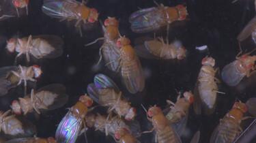 Het Klokhuis: Fruitvliegjes