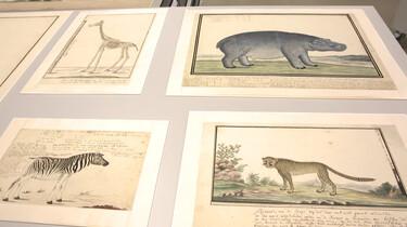 Zuid-Afrikaanse dieren in de 17e eeuw
