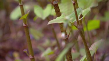 De Japanse Duizendknoop: Een schadelijke exoot