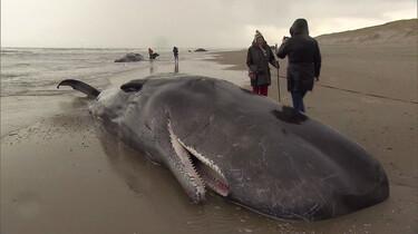 Aangespoelde potvissen op het strand: Een foutje in de navigatie
