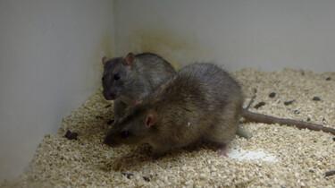 Ratten en antidepressiva: Gedragsonderzoek bij proefdieren