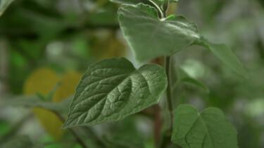 Fotosynthese als inspiratie voor de wetenschap: Bladeren zijn vernuftige chemische fabriekjes