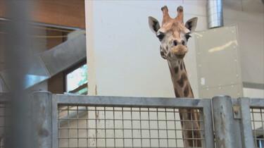 Giraffe op transport: Hoe worden dieren vervoerd?