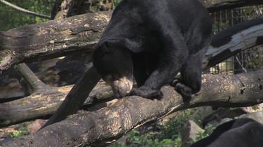 Maleise beren zijn dol op honing: Hoe worden beren gevoerd?