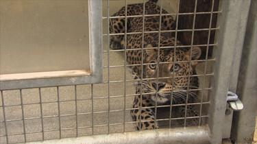 Panters in de dierentuin: Wat gebeurt er als er een gevaarlijk dier ontsnapt?