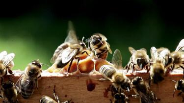Hoe leven bijen?
