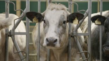 De gevolgen van genetische selectie bij vleeskoeien: Keizersnedes in plaats van natuurlijke bevallingen