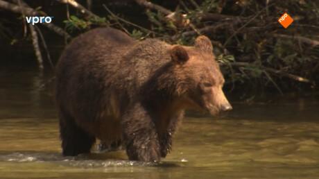 Grizzly beren zoeken