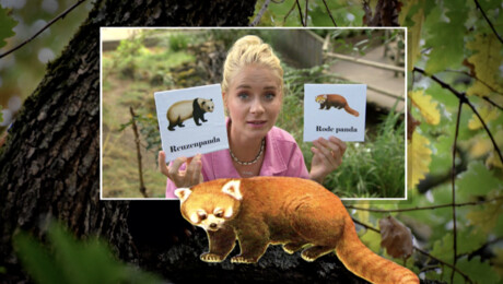 Het Klokhuis | Rode panda