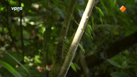 Hindernisjagers in het regenwoud