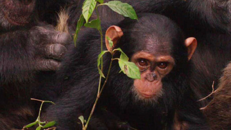 Freek in het wild | Slimme chimpansees