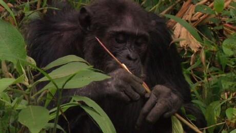 Chimpansees volgen