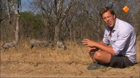 De buffel en het wrattenzwijn