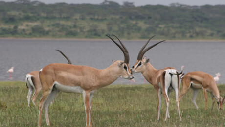 Zappbios | African Bambi